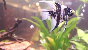 Pterophyllum scalare - fish scalar stock footage