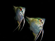 Pterophyllum scalare Stock Photos