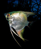 Pterophyllum scalare Stock Photography