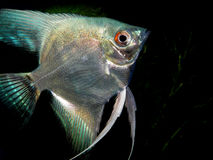 Pterophyllum scalare Royalty Free Stock Image