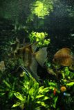 Angelfish in a freshwater fish tank royalty free stock photo