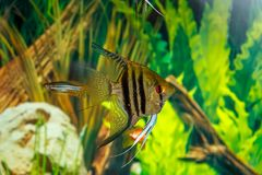 Pterophyllum scalare swims in an aquarium, close-up royalty free stock images