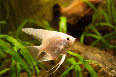 Pterophyllum. White fish at the aquarium Stock Photos