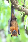 Pteropus vampyrus (large flying fox) on tree Stock Photography