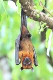 Pteropus vampyrus (large flying fox) on tree Stock Photography