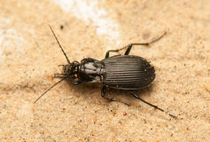 Pterostichus niger Royalty Free Stock Photography