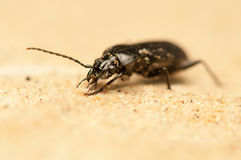 Pterostichus niger Stock Photo