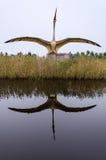 Pterozaur dinosauriemodell med vattenreflexion Royaltyfri Bild