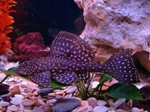 Pterygoplichthys gibbiceps Royalty Free Stock Photos