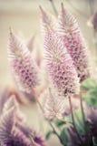 Ptilotus exaltatus (Joey) flower Stock Image