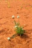 Ptilotus macrocephalus -澳大利亚野花 库存图片