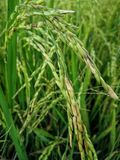 Rice fields paddy green farmer. royalty free stock photography