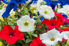Pétunias rouges, blancs, et bleus Photos stock