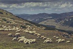 Pâturage de la bande de moutons Images libres de droits
