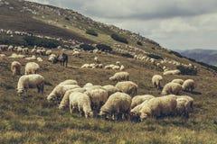 Pâturage de la bande de moutons Photos libres de droits