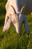 Pâturage de la chèvre de Nubian Photos stock