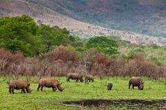 Pâturage de rhinocéros blanc Image stock