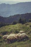 Pâturage du troupeau de moutons Image libre de droits