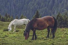 Pâturage gratuit de chevaux Photos stock