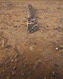 Ptysiowy Adder (Bitis ariens) Zdjęcie Stock
