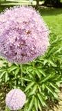 Ptysiowy kwiat zdjęcie royalty free