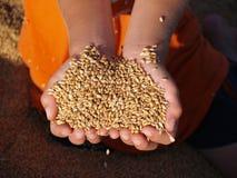 Puñado de cosecha del oro Foto de archivo libre de regalías