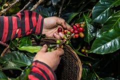 Puñado de granos de café orgánicos frescos Imagen de archivo libre de regalías