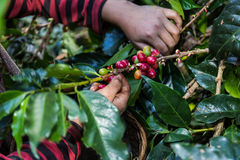 Puñado de granos de café orgánicos frescos Fotos de archivo libres de regalías