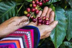 Puñado de granos de café orgánicos frescos Fotografía de archivo libre de regalías
