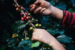 Puñado de granos de café orgánicos frescos Foto de archivo libre de regalías