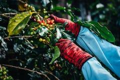 Puñado de granos de café orgánicos frescos Imagen de archivo