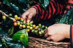 Puñado de granos de café orgánicos frescos Fotos de archivo