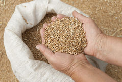 Puñado de granos del trigo. Foto de archivo libre de regalías