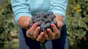 Puñado de Hands Holding A del jardinero del granjero de demostraciones negras maduras de las uvas en la cámara almacen de video