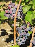 Puñados de uvas rojas Foto de archivo libre de regalías