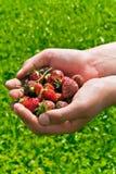 Puño por completo de fresas Foto de archivo libre de regalías