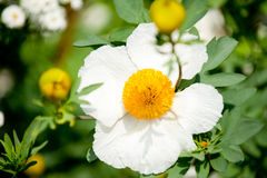 Pua kala flowers Stock Image