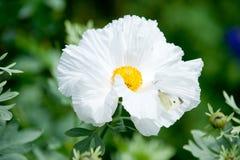 Pua kala flowers Stock Images