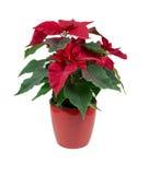 Puansettia rosso del fiore nel vaso Fotografia Stock