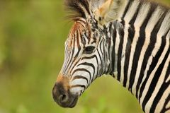Puberty. This young zebra is losing his fluffy coat. Puberty comes to my mind Stock Images
