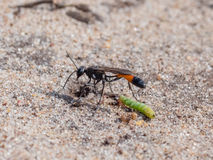Pubescens de Heath Sand Wasp Ammophila avec la proie Image libre de droits