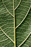 Pubescent back side of a Paulownia leaf Stock Photography
