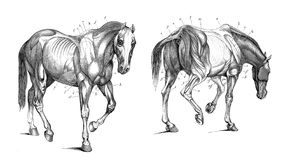 The anatomy of the horse. Public domain. From the book: Anatomy of the horse. London 1876 Stock Photos