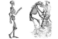 Skeletons isolated on white. Public domain. From the book: Bulletin of the natural Sciences. Moscow 1859 Royalty Free Stock Photos