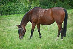 PUBLIC DOMAIN DEDICATION digionbe 9.. 18-06-16 - Horse grazing LOW RES DSC00989 Stock Image