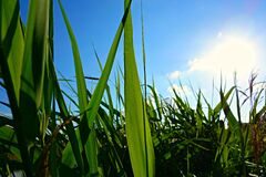 PUBLIC DOMAIN DEDICATION digionbew 10 june july 25-06-16 Reeds under blue skies LOW RES  DSC02575 Royalty Free Stock Images