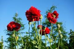 PUBLIC DOMAIN DEDICATION digionbew 10. june july Poppies against blue skies LOW RES DSC02427 Royalty Free Stock Photo