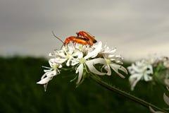 PUBLIC DOMAIN DEDICATION - digionbew 11. 06-07-16 Beetles privacy violated LOW RES DSC04565 Stock Photo