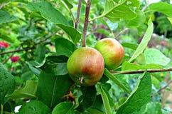 PUBLIC DOMAIN DEDICATION digionbew 25-06-16 Apples on branch LOW RES DSC02450 Royalty Free Stock Photos