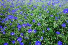 PUBLIC DOMAIN DEDICATION - digionbew 9. 17-06-16 - Primulas in field LOW RES DSC00343 Stock Photography